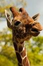 Giraffe enjoying the sunshine Royalty Free Stock Photo