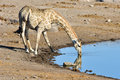 Giraffe etosha namibia drinking along a waterhole in the wild in national park africa Royalty Free Stock Images