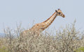 Giraffe in etosha namibia national park africa Royalty Free Stock Image