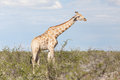 Giraffe in etosha namibia national park africa Stock Photos