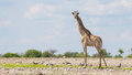 Giraffe in etosha namibia national park africa Royalty Free Stock Images