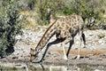 Giraffe etosha namibia in the wild in national park africa Stock Photos