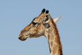 Giraffe, Etosha National Park, Namibia Royalty Free Stock Images
