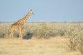 Giraffe etosha national park namibia giraffa camelopardalis angolensis Royalty Free Stock Images