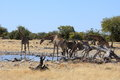 Giraffe in etosha park namibia Stock Images