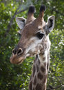 Giraffe Face Close-up Royalty Free Stock Photos