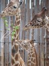 The Giraffe Family Royalty Free Stock Image
