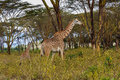 Giraffe family the in hell s gate national park kenya Stock Image