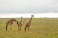 Giraffe family in Kenya Stock Images
