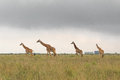 Giraffe family in Kenya Royalty Free Stock Photo