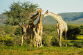 Giraffe family a namibian of Royalty Free Stock Image