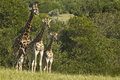 Giraffe family standing and watching of next to some thick bush Stock Photo