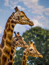 Giraffe family in the sun a close up of three enjoying a sunny day Royalty Free Stock Photography