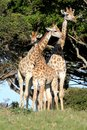 Giraffe family of three giraffes standing next to a tall tree in the african wild Royalty Free Stock Photography