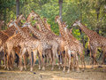 Giraffe family in the zoo Royalty Free Stock Photo