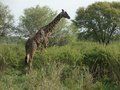 Giraffe at feed and green vegetation in tanzania africa Royalty Free Stock Image