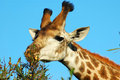 Giraffe feeding Stock Photos