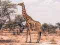 Giraffe feeding from tree Royalty Free Stock Photo