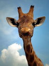 Giraffe with a funny expression Royalty Free Stock Image
