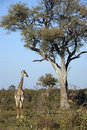 Giraffe giraffa camalopardalis botswana in the savuti area of Royalty Free Stock Images