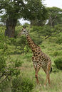 Giraffe (Giraffa camelopardalis) Stock Photos
