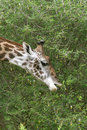 Giraffe (Giraffa camelopardalis) Royalty Free Stock Images