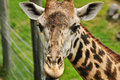 Giraffe (Giraffa camelopardalis) close up Royalty Free Stock Image