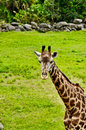 Giraffe (Giraffa camelopardalis) in field Stock Images