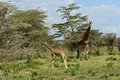Giraffe giraffa camelopardalis in kruger national park Royalty Free Stock Photos