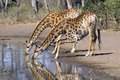 Giraffe giraffa camelopardalis in kruger national park south africa Royalty Free Stock Images