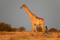 Giraffe giraffa camelopardalis late afternoon light etosha national park namibia Royalty Free Stock Photography