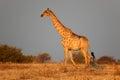 Giraffe giraffa camelopardalis late afternoon light etosha national park namibia Royalty Free Stock Photography