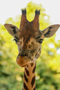 Giraffe giraffa camelopardalis a rising its heads Royalty Free Stock Image