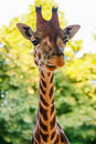 Giraffe giraffa camelopardalis a rising its heads Stock Photography