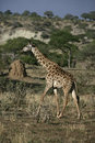Giraffe giraffa camelopardalis single mammal on grass tanzania Royalty Free Stock Photo