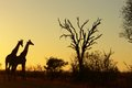 Giraffe giraffa camelopardalis at sunrise giraffes necking kruger national park south africa Royalty Free Stock Image
