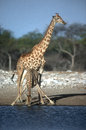 Giraffe giraffa camelopardalis two mammals at water namibia Stock Image
