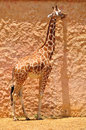Giraffe giraffes in safari park central israel Stock Photo