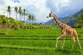 The giraffe goes on a green grass Royalty Free Stock Photography