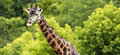 Giraffe and green forest panorama panoramic photography of a against a of trees wildlife photography focus is on long neck head Stock Photos