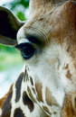 Giraffe head close-up Stock Image