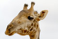 Giraffe head close up of a at serengeti national park Royalty Free Stock Image