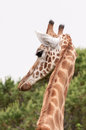 Giraffe head closeup back sight giraffa camelopardalis Stock Image