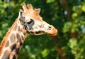 Giraffe head closeup shot of the cute Stock Photography