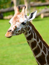 Giraffe head on green forest Royalty Free Stock Photography