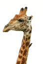 Giraffe head isolated giraffa camelopardalis african photographed close up with a tick bird on its neck Stock Photo