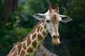 Giraffe head and neck of a close up Stock Photography