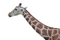 Giraffe head and neck of a isolated on white Royalty Free Stock Images