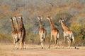 Giraffe herd small of giraffes giraffa camelopardalis in the african savanna Royalty Free Stock Image
