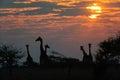 Giraffe herd at sunrise, etosha nationalpark, namibia Royalty Free Stock Photo